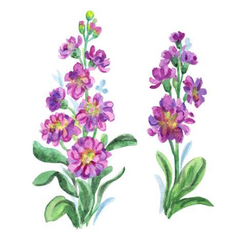 illustrations wallflower gillyflowers clip vector