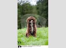 AM03040 Portugiesischer Wasserhund Bilder Stockbilder