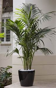 Related Keywords & Suggestions for kentia palm