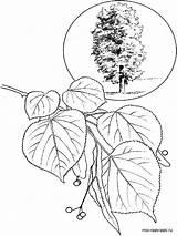 Coloring Tree Pages Linden Basswood Printable Elm American Coloriage Tilleul Trees Supercoloring Arbre Getdrawings Colorier Enregistree Depuis Categories sketch template