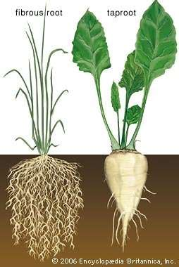 Root  Definition, Types, Morphology, & Functions