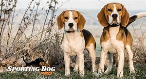 Training your beagle to hunt rabbits can be fun and ...