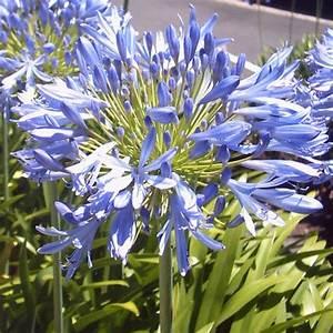 Graines D Agapanthe : agapanthe fleurs agapanthe plante bleue et bulbes ~ Melissatoandfro.com Idées de Décoration