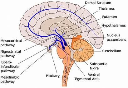 Pathways Dopaminergic Striatum Dopamine Brain Svg Pathway