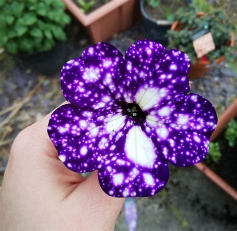 Cool Product Alert The Petunia Sky Plant cool product alert the petunia sky plant
