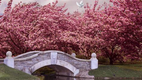 wallpaper japan   wallpaper blossom cherry bridge