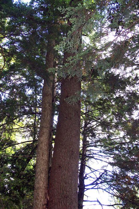 hemlock trees nature detective eastern canadian hemlock