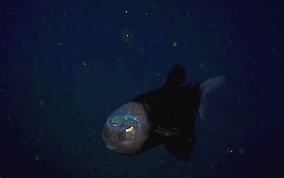 Fish Barreleye Pacific Head Planet Transparent Grid