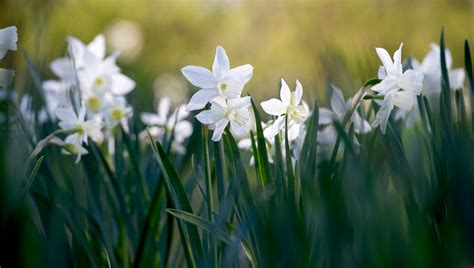 12 daffodils to plant this fall