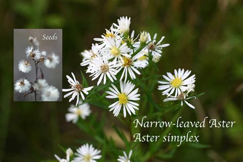 Narrow-leaved Aster