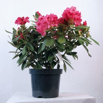 rhododendron sneezy  burncoose nurseries