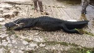 Florida Man Bitten By Alligator He Was Hunting - NBC News