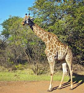 Angolan giraffe - Wikipedia  Giraffe