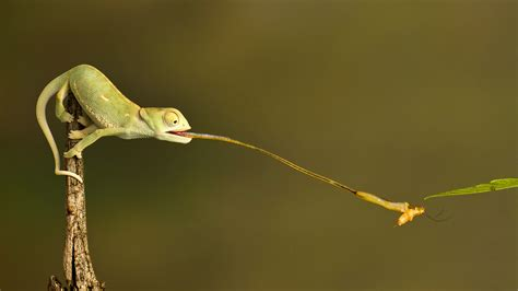 chameleon changing color national geographic