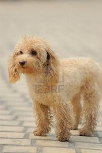 Cute Dogs: Poodle dog