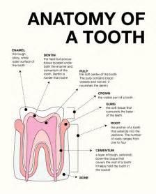 Dental Tooth Surface Anatomy