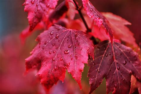 Red Leaves Pictures, Photos, And Images For Facebook