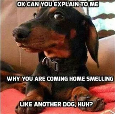 Silly Memes - 12 best dachshund memes of all time