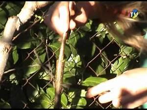 Tailler Les Kiwis : la greffe et la taille de l 39 arbre a kiwis youtube ~ Farleysfitness.com Idées de Décoration
