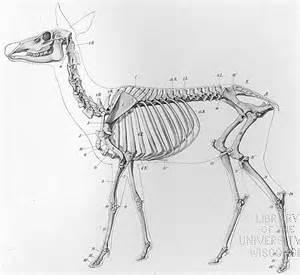 Deer Skeleton Anatomy
