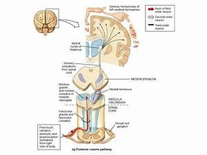 Lemniscus : définition de lemniscus