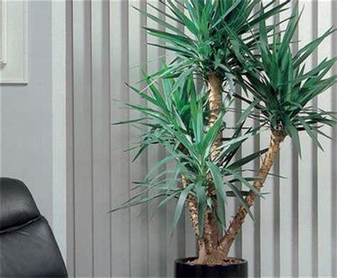 yucca plante interieur ou exterieur yucca bloom iq