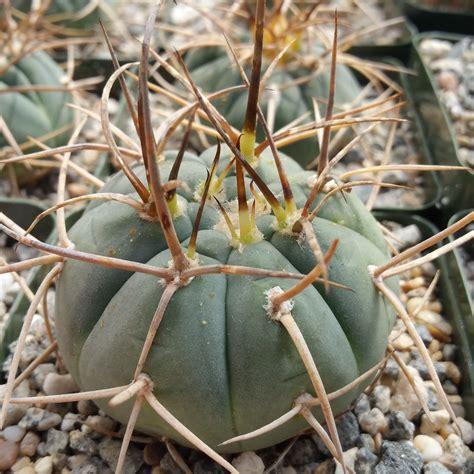 Gymnocalycium cardenasianum - Planet Desert