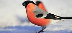 Vogel Mit Roter Brust : v gel nur im winter f ttern vogel und naturschutzprodukte einfach online kaufen ~ Eleganceandgraceweddings.com Haus und Dekorationen