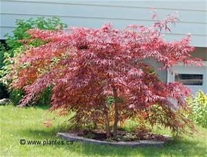 Arbuste Plein Soleil Longue Floraison : rable du japon acer palmatum ~ Premium-room.com Idées de Décoration