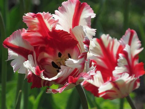 parrot tulip snap photograph red and white parrot tulips photograph by alfred ng
