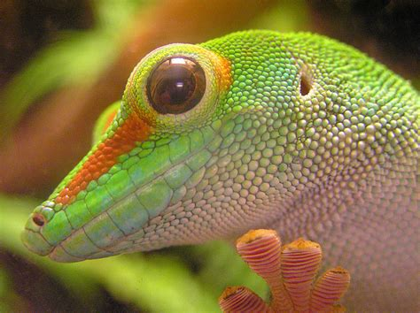 gecko lizard the amazing gecko 20 interesting facts about the world s most species rich lizard the ark in