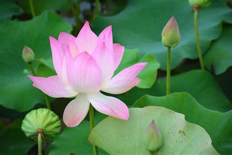 Lotus Flower in Siem Reap, Cambodia - Lucid Practice