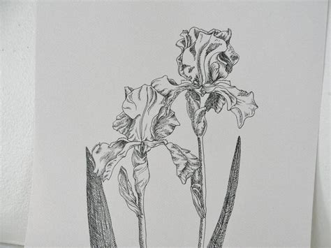 original ink drawing iris botanical drawing summer flower