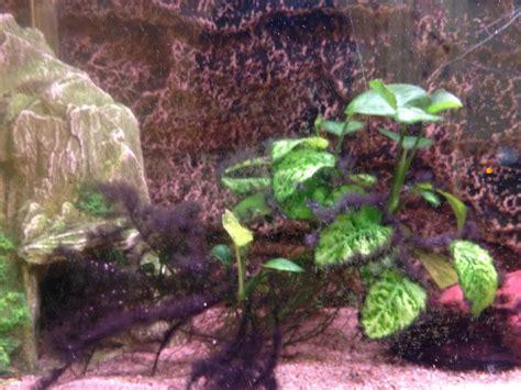 algues noires filamenteuses sur les plantes
