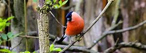 Vogel Mit Roter Brust : der dompfaff am vogelhaus ~ Eleganceandgraceweddings.com Haus und Dekorationen