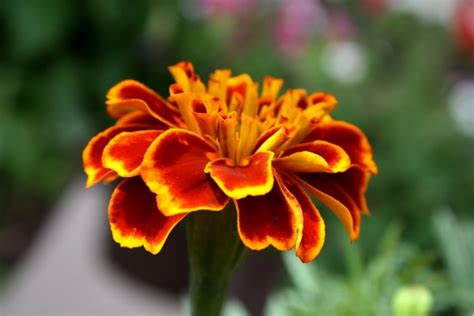 marigold flower close  picture  photograph