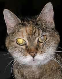 cataracts in cats cataracts in your and cat