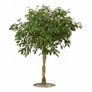 Ficus Benjamini Vermehren : ficus benjamina 10 ~ Lizthompson.info Haus und Dekorationen