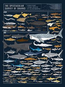 This Wall Chart Shows Almost 130 Species Of Shark U2014all