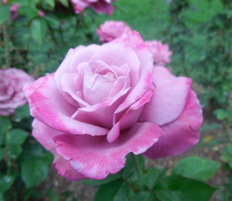 raleigh rose garden variegated roses  gardening cook