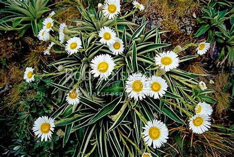 large mountain daisy flowers celmisia verbascifolia
