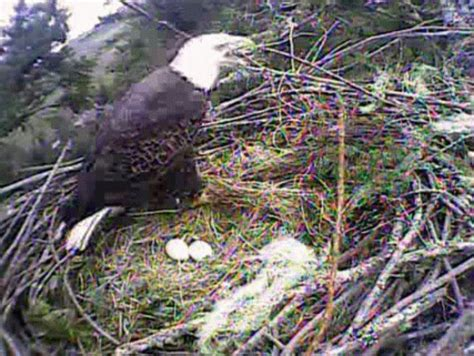 humboldt bay eagle lays  egg lost coast outpost
