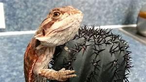 New Leatherback Bearded Dragon update - YouTube