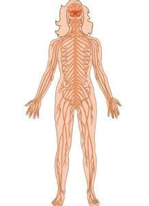 das nervensystem des menschen gehirn zns rueckenmark