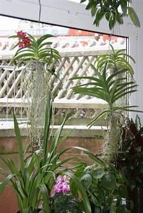 Orchidee Vanda Pflege : vanda orchidee h ngend gr ser im k bel berwintern ~ Lizthompson.info Haus und Dekorationen