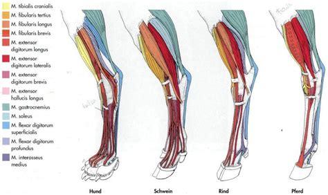 vet life comparative leg anatomy dog pig  horse
