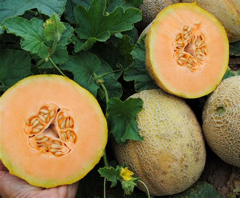 Sweet Passion Muskmelon, 2 g : Southern Exposure Seed ...