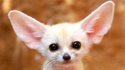 Fox Fennec Animals Wallpapers Arctic Foxes Background