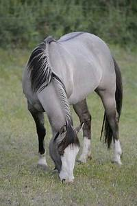 GRULLA A BLACK horse with the DUN gene/dilution GRULLA