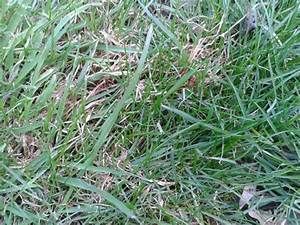 [different grass types for lawns]